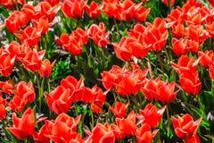 Tulipani rossi su un'aiola Immagini Stock