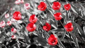 Tulipani rossi su un fondo in bianco e nero Fotografia Stock