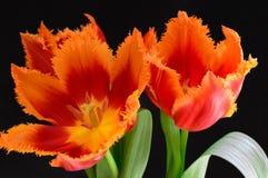Tulipani rossi su un fondo nero Immagine Stock
