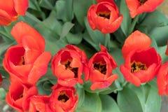 Tulipani rossi su un fondo verde immagine stock
