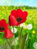Tulipani rossi sul prato Immagini Stock Libere da Diritti