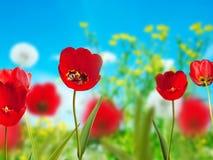 Tulipani rossi sul prato Immagini Stock