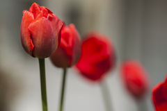 Tulipani rossi sul primo piano vago del fondo Fotografie Stock