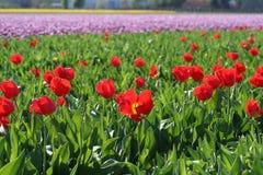 Tulipani rossi in un giacimento dei bulbi Fotografie Stock Libere da Diritti