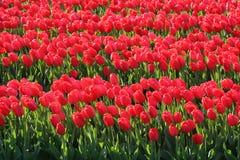 Tulipani rossi in un giacimento dei bulbi Immagini Stock Libere da Diritti