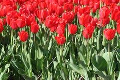 Tulipani rossi in un giacimento dei bulbi Fotografia Stock Libera da Diritti