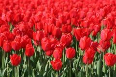 Tulipani rossi in un giacimento dei bulbi Immagine Stock Libera da Diritti
