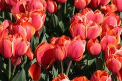 Tulipani rossi in un giacimento dei bulbi Fotografie Stock
