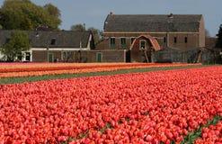 Tulipani rossi in un giacimento dei bulbi Fotografia Stock