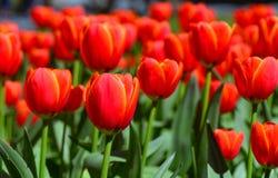 Tulipani rossi in un giardino Immagini Stock Libere da Diritti