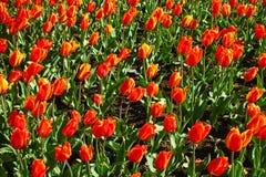 Tulipani rossi vivi su un prato al giorno soleggiato della molla Immagine Stock Libera da Diritti