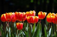 Tulipani rosso-gialli morbidamente colorati Immagine Stock