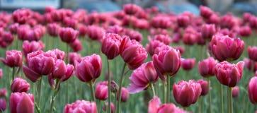 tulipani rosso magenta Immagini Stock