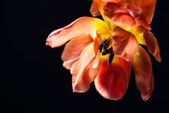 Tulipani sbiaditi su fondo nero Fotografie Stock