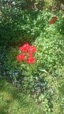 Tulipani sboccianti di rosso fotografie stock