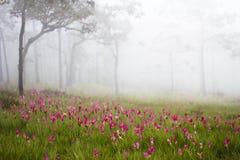 Tulipani selvatici del Siam che fioriscono nella giungla nel phoom di Chaiya Fotografie Stock Libere da Diritti