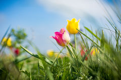 Tulipani selvatici Shrenka Fotografia Stock Libera da Diritti