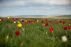 Tulipani selvatici Shrenka Immagine Stock