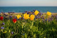 Tulipani selvatici Shrenka immagine stock libera da diritti