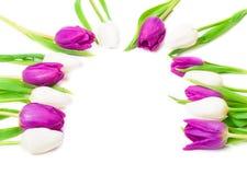 Tulipani, semicerchio, cartolina d'auguri Fotografia Stock Libera da Diritti