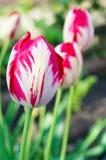 Tulipani semplici Fotografie Stock