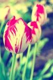 Tulipani semplici Immagine Stock Libera da Diritti