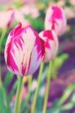 Tulipani semplici Immagini Stock