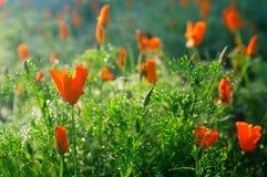 Tulipani sotto il sole Immagini Stock Libere da Diritti