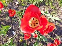 Tulipani sotto il sole Fotografia Stock Libera da Diritti