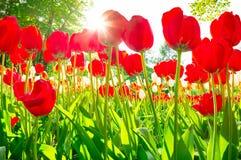 Tulipani sparati da sotto Immagini Stock