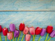 Tulipani su fondo di legno blu fotografia stock libera da diritti
