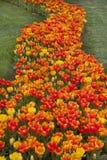 Tulipani su prato inglese Fotografia Stock