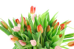 Tulipani su priorità bassa bianca Fotografia Stock Libera da Diritti