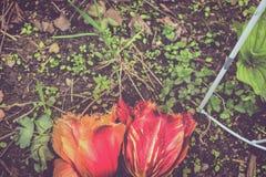 Tulipani su sporcizia con le erbacce immagine stock libera da diritti
