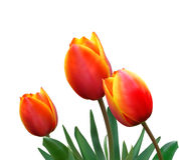 Tulipani su una priorità bassa bianca Fotografie Stock Libere da Diritti