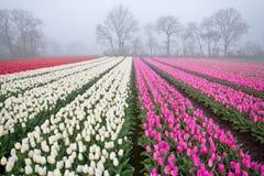 Tulipani sul campo ad alba nebbiosa Immagine Stock