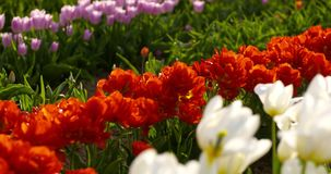 Tulipani sul campo Olanda di agricoltura archivi video