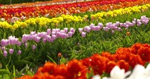 Tulipani sul campo Olanda di agricoltura stock footage