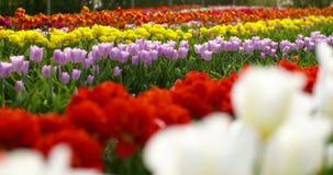 Tulipani sul campo Olanda di agricoltura video d archivio