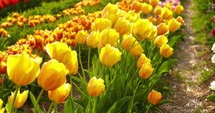 Tulipani sul campo Olanda di agruiculture stock footage