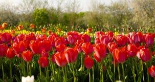 Tulipani sul campo Olanda di agruiculture video d archivio