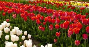 Tulipani sul campo Olanda di agruiculture archivi video