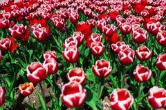 Tulipani sul letto Fotografia Stock Libera da Diritti