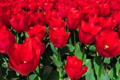 Tulipani sul letto Fotografie Stock
