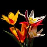Tulipani sul nero Immagini Stock Libere da Diritti