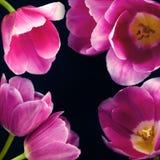Tulipani sul nero immagini stock