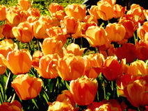 Tulipani sul Sun Fotografia Stock