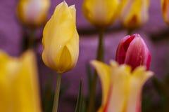 Tulipani sulla luce Immagini Stock Libere da Diritti