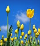 Tulipani sulla priorità bassa del cielo Immagine Stock