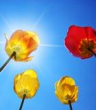 Tulipani sulla priorità bassa del cielo. Fotografie Stock Libere da Diritti